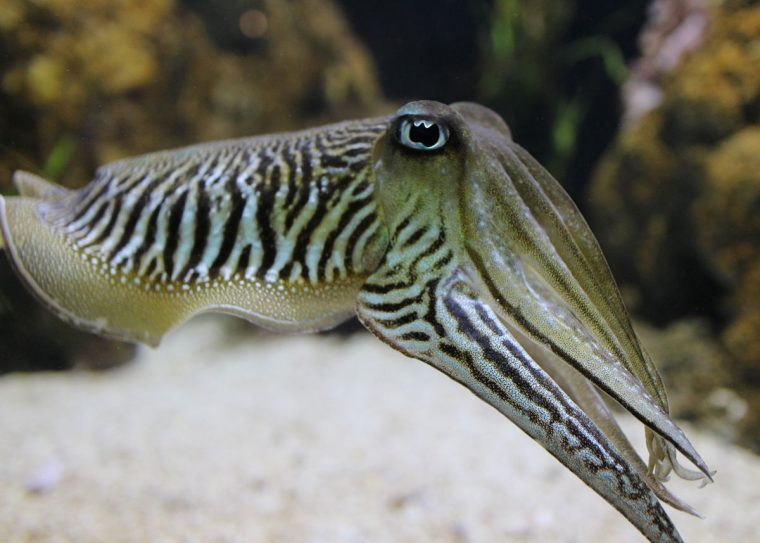 common cuttlefish, arms stretched