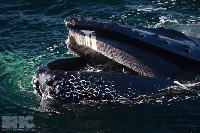 humpback whale mouth with baleen