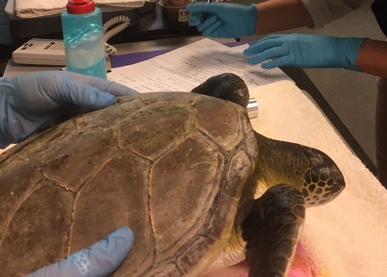 rescued green sea turtle