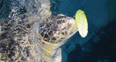 Myrtle the green sea turtle eating a leaf of lettuce