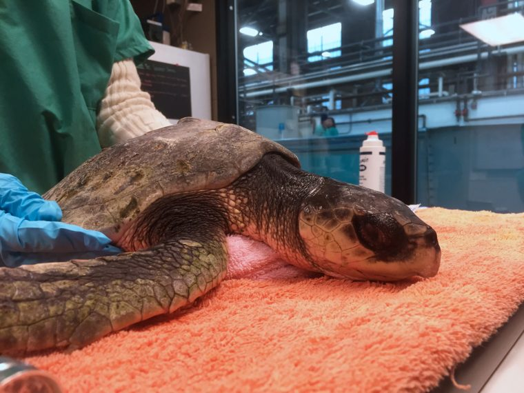 rescued turtle rests on exam table