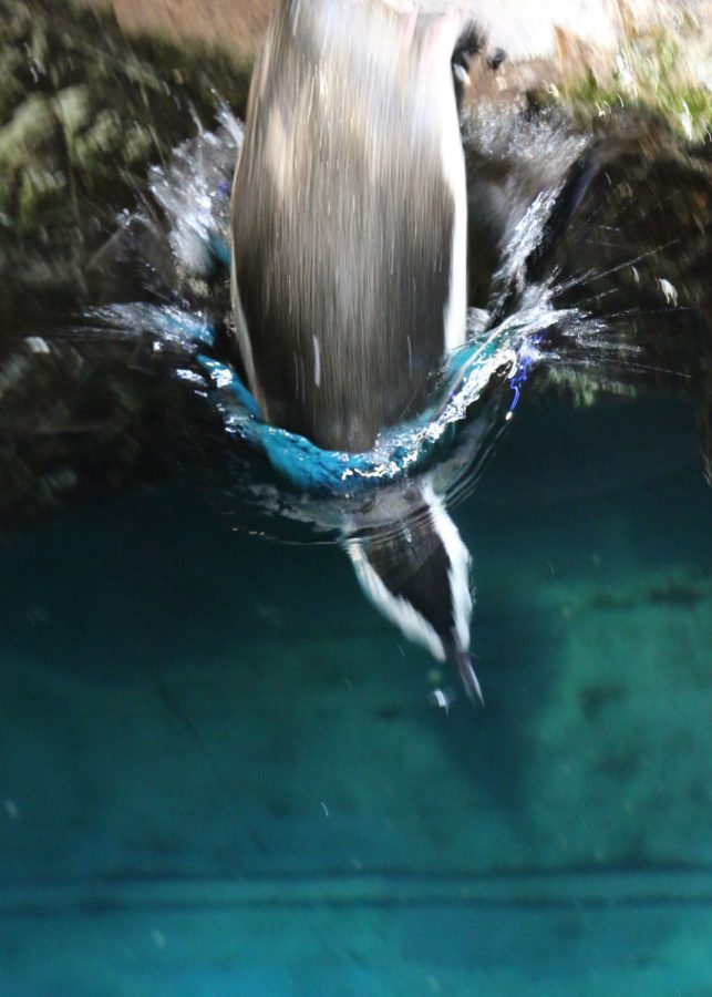 african penguin diving into the water