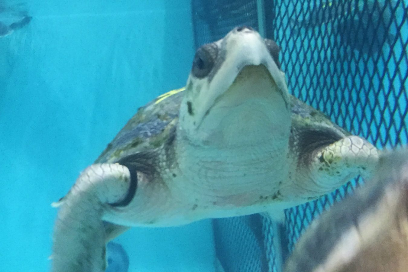 Kemp's ridley turtle swims in rehab