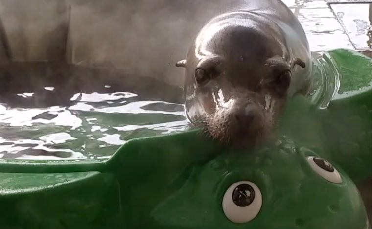 zoe the sea lion rests in steaming kiddy pool