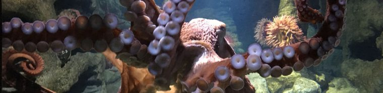 sy the giant Pacific octopus