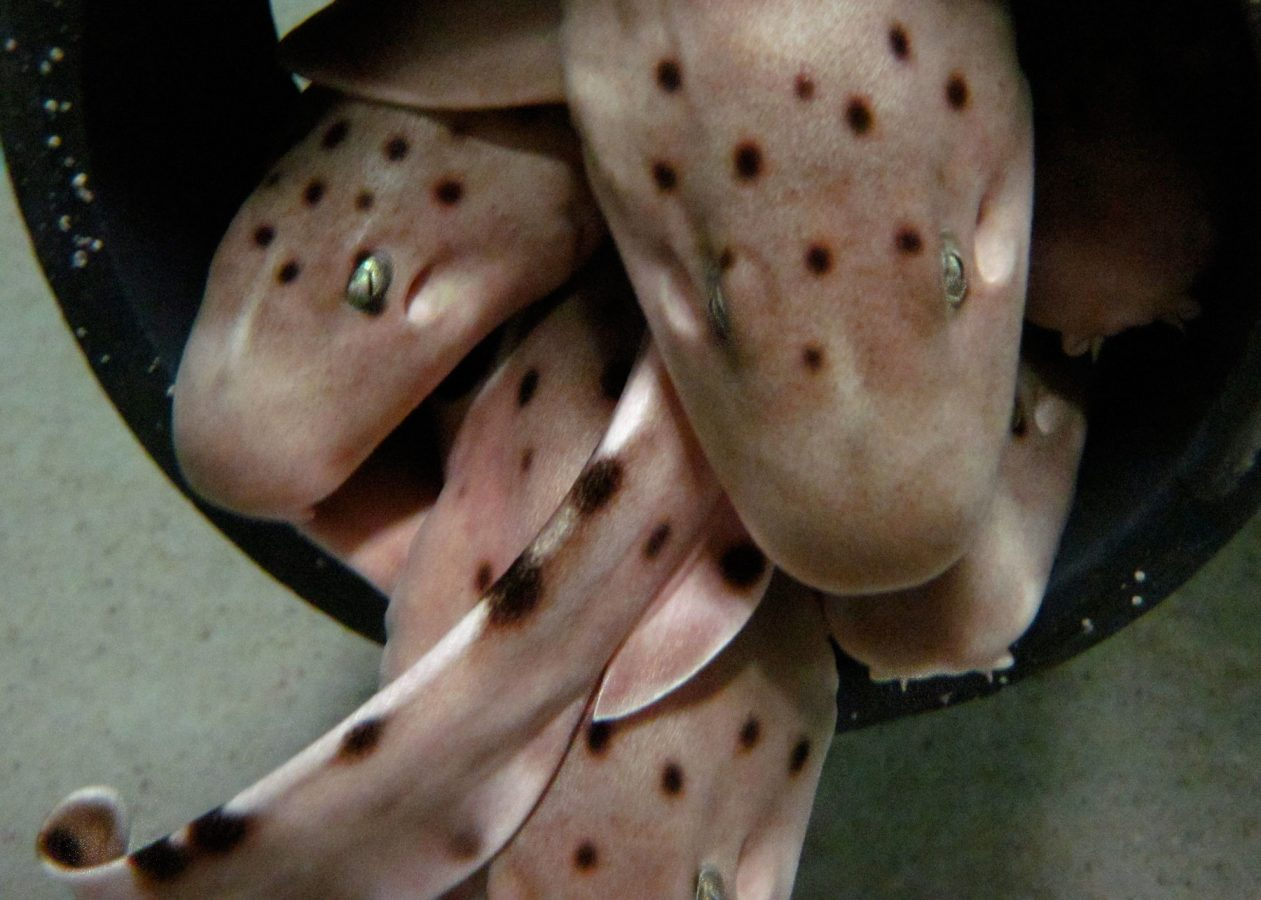 epaulette sharks in tube behind the scenes