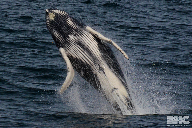 a humpback calf breach