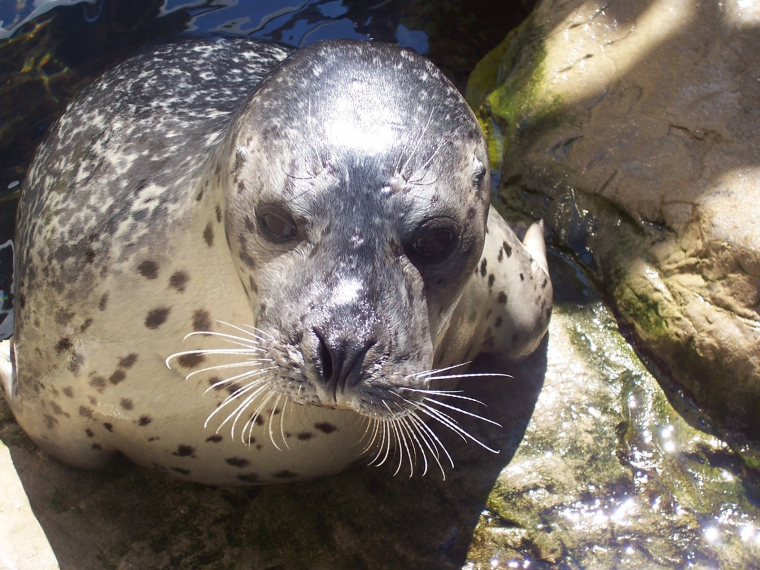 Cayenne the harbor seal