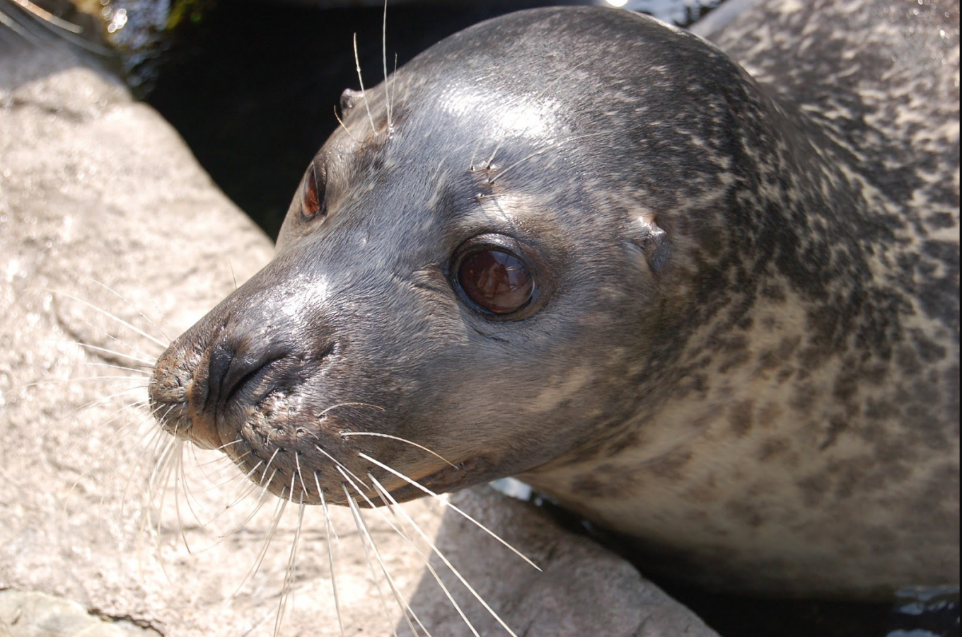 Reggae the harbor seal
