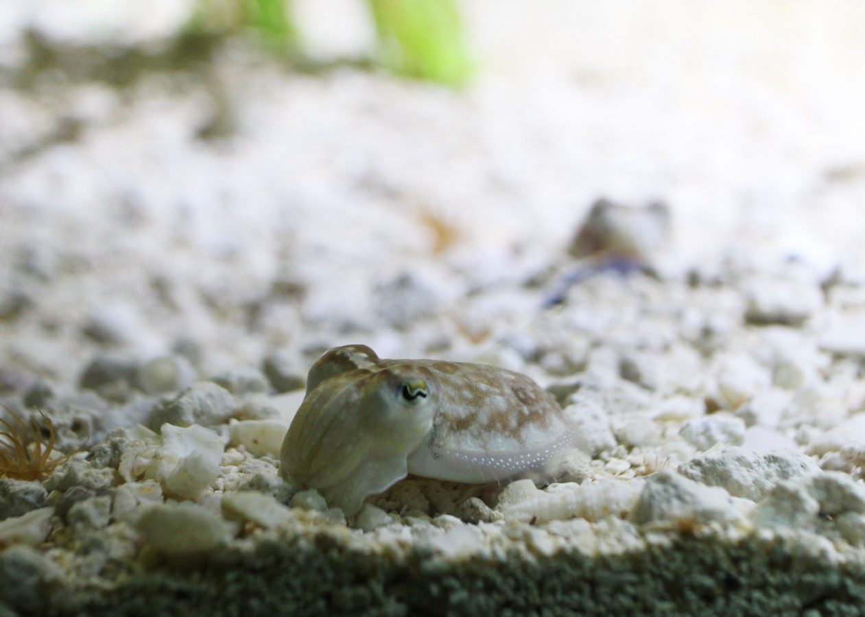 baby cuttlefish rests on gravel