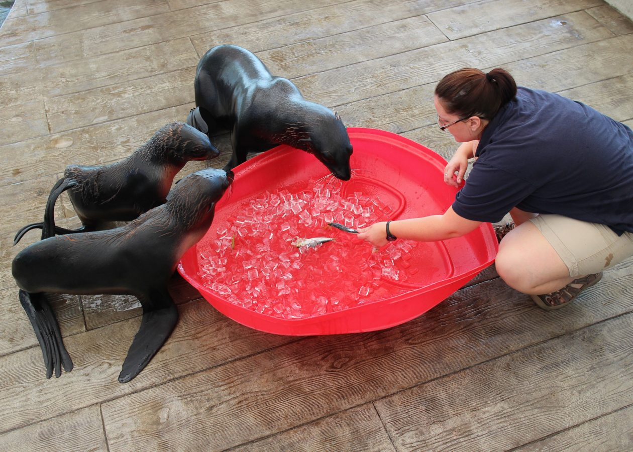 Trainer Jess points out fish in ice to three seals