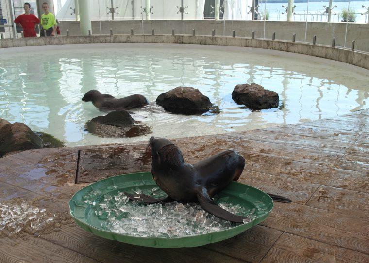 luna the fur seal resting on ice cubes