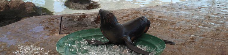 luna the fur seal rests in pool of ice cubes