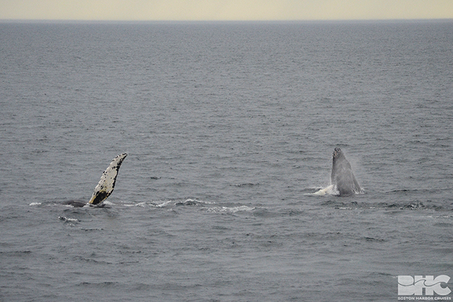 a mom and calf humpback flapping their flippers