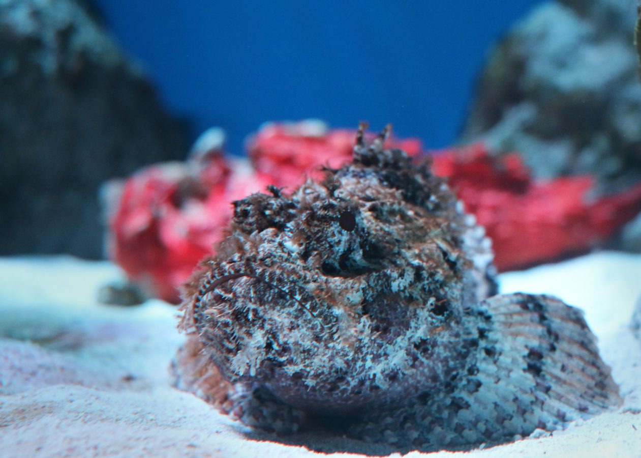 scorpionfish in armored and venomous exhibit