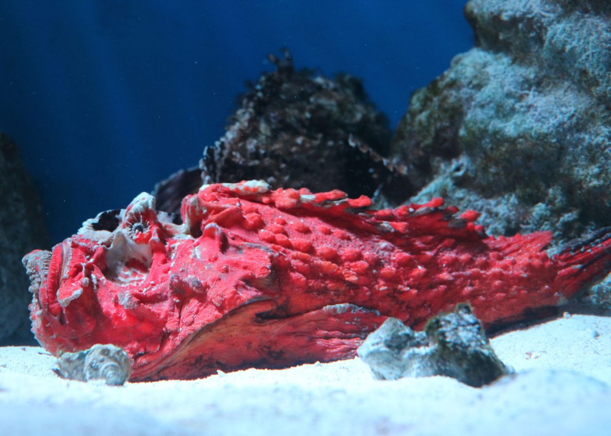 bright red scorpionfish