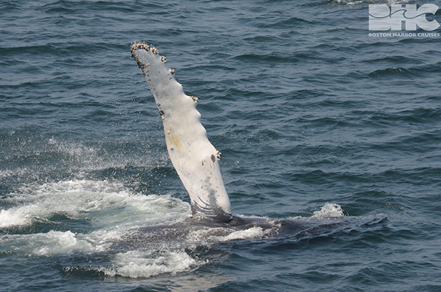 humpback whales flipper slapping