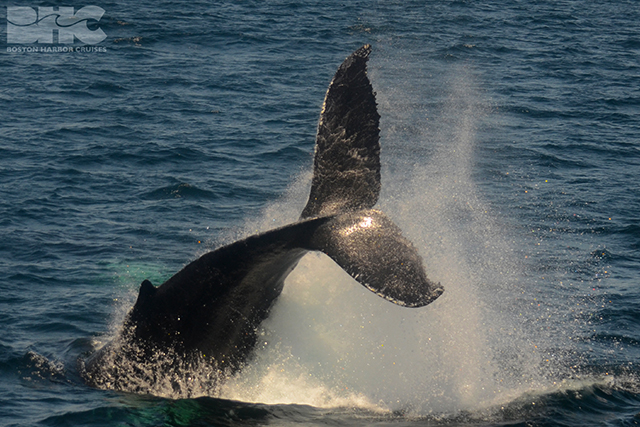 Humpback tail breach