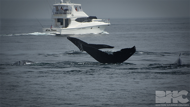 humpbacks bounce and perseid fluking
