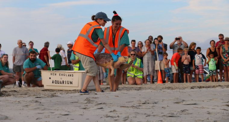 rescuers carry loggerhead to beach