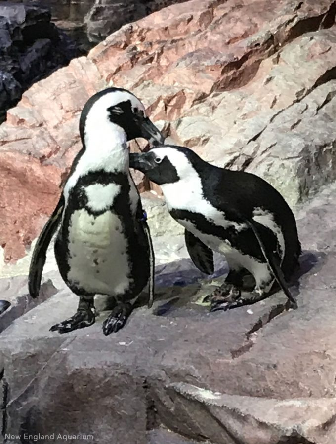 penguins preening