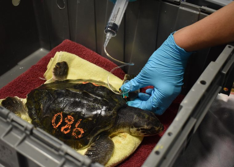 rescuer gives fluids to turtle