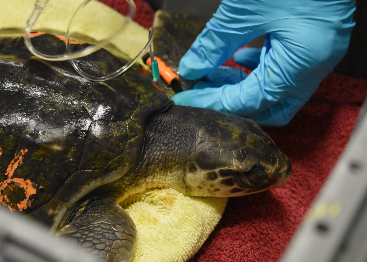 closeup of turtle getting fluids