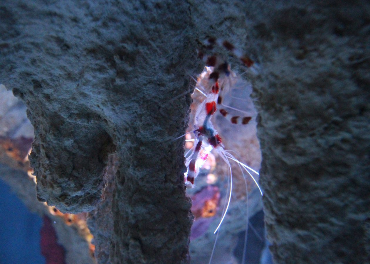 cleaner shrimp in blue hole exhibit
