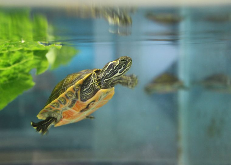 Northern red bellied cooter