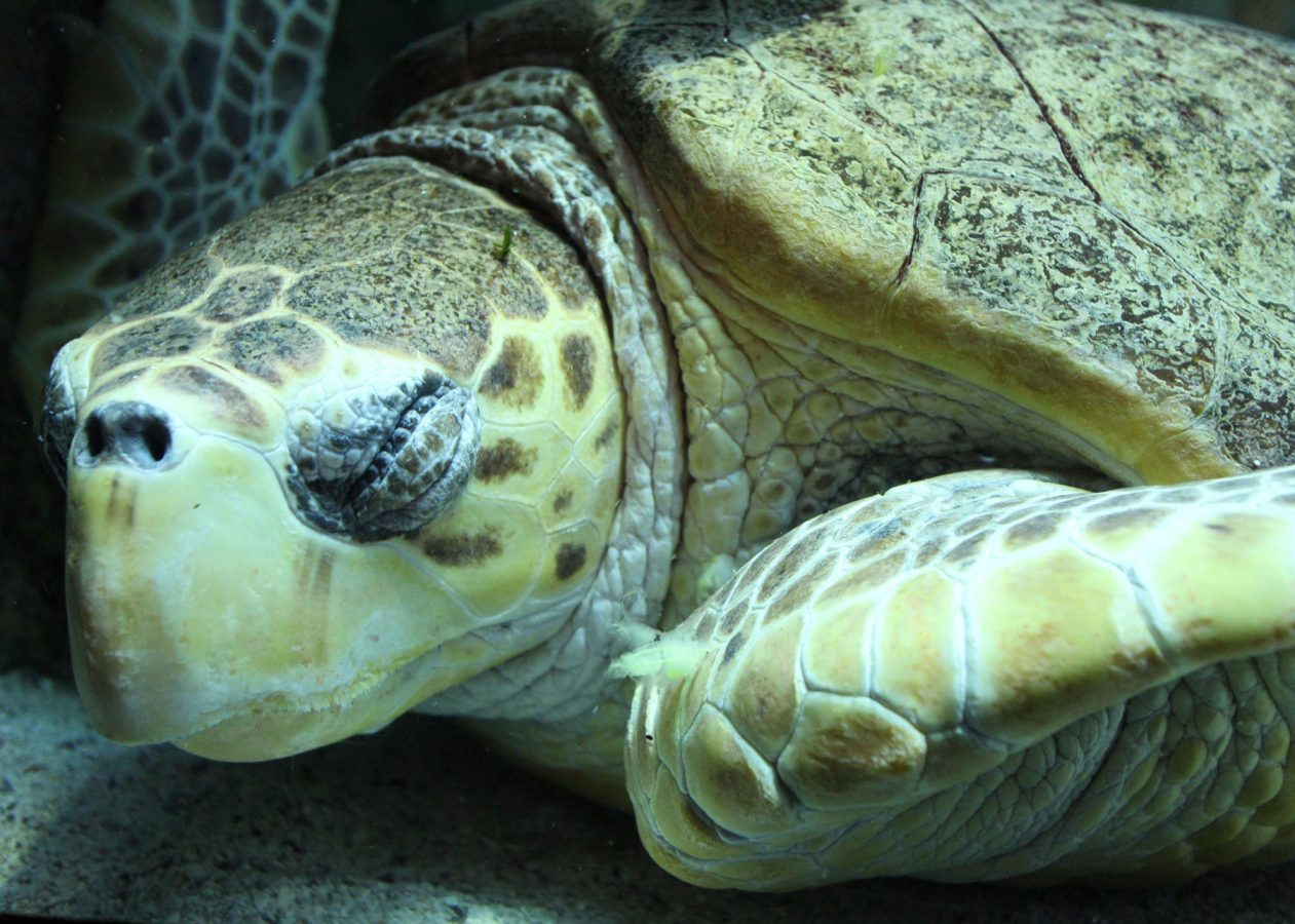sleepy loggerhead