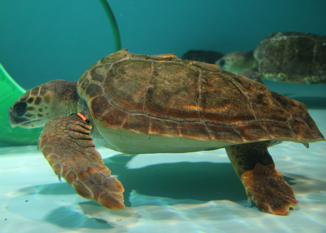 loggerhead sea turtle patient