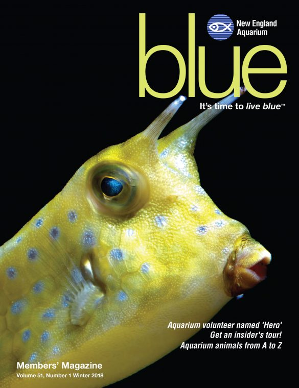 pacific longhorn cowfish on the cover of winter 2018 issue of blue magazine