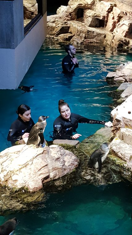 Aquarium staff members clean one of the penguin rocks during the VIP Sunday Morning event in January 2018.