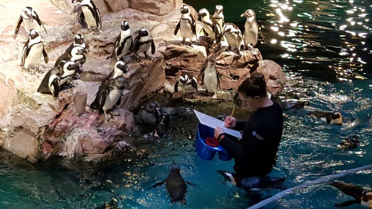 An Aquarium staff member works in a penguin exhibit during the VIP Sunday Morning event in January 2018.