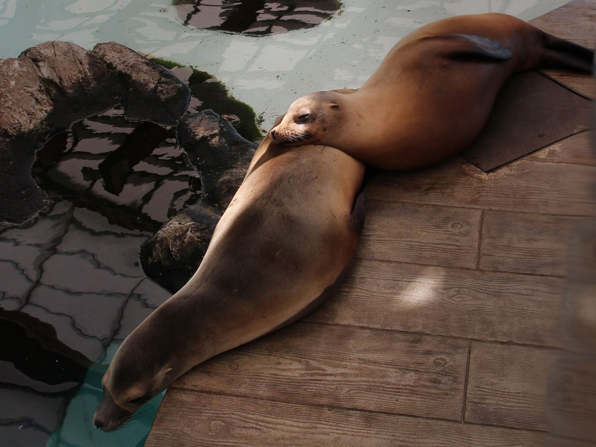 fuzzy dry sea lions on deck