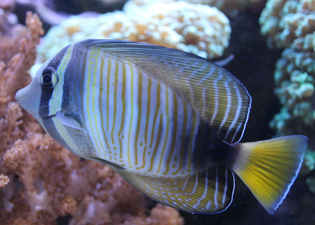 sailfin tang in living coral exhibit