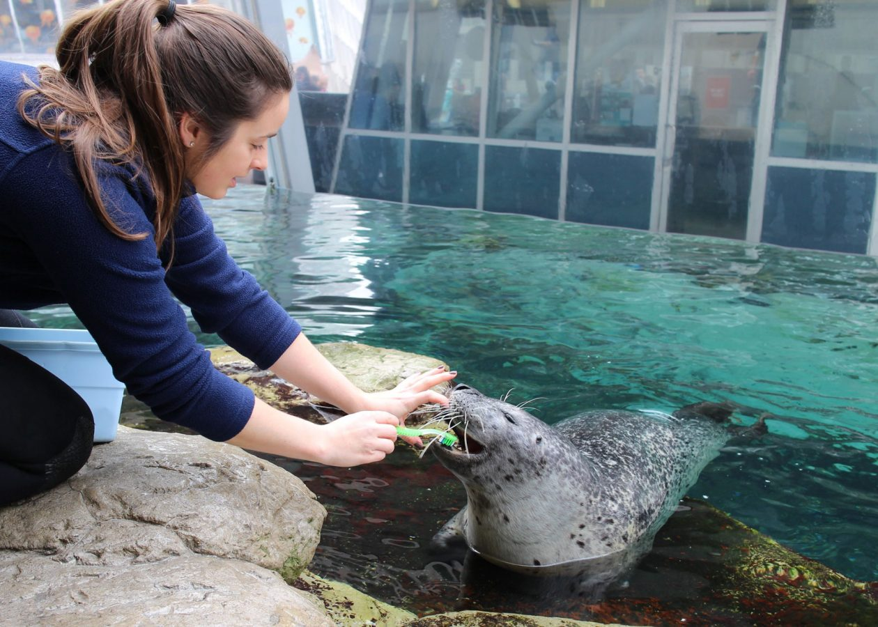 harbor seal getting teeth brushed