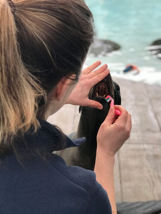 fur seal brushing teeth