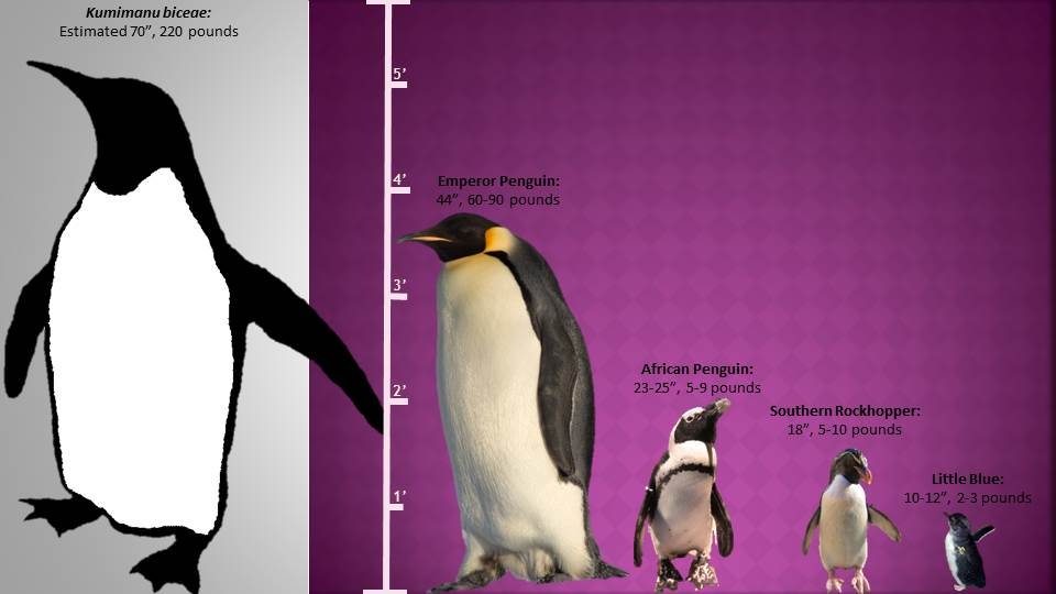 penguin size comparison illustration