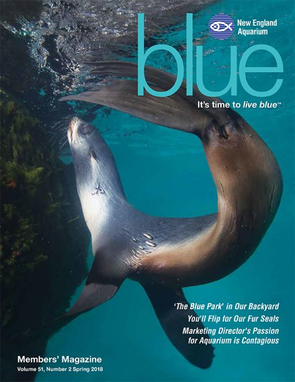northern fur seal on the cover of Spring 2018 issue of blue magazine