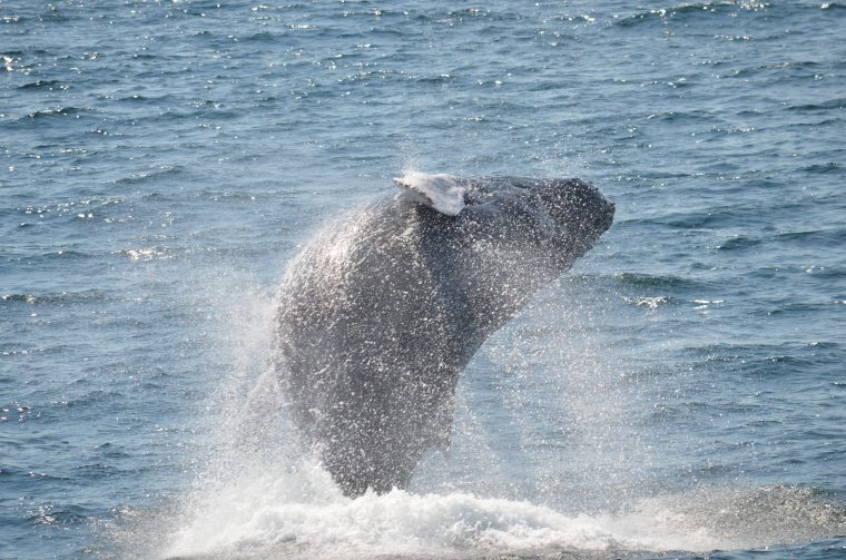 a whale breaches during a whale watch