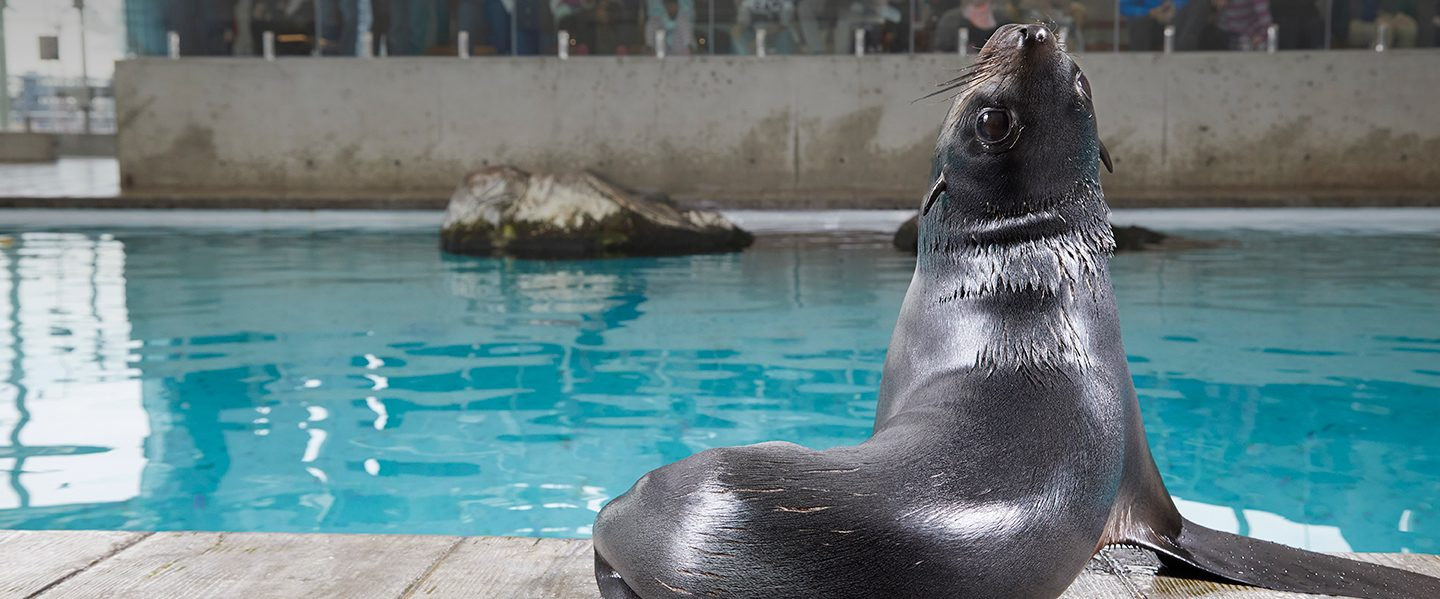 fur seal in exhibit
