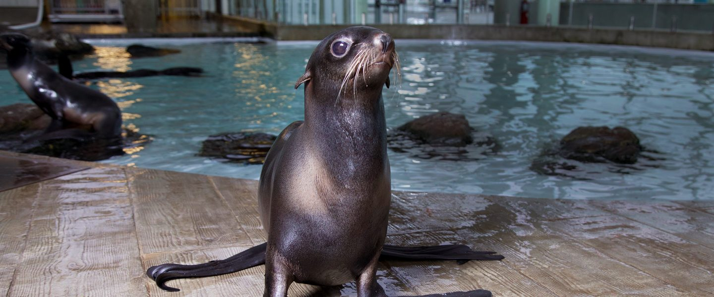 northern fur seal on deck