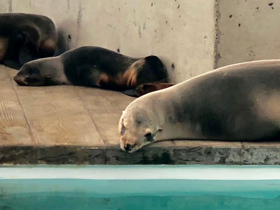 sleeping sea lions and seals
