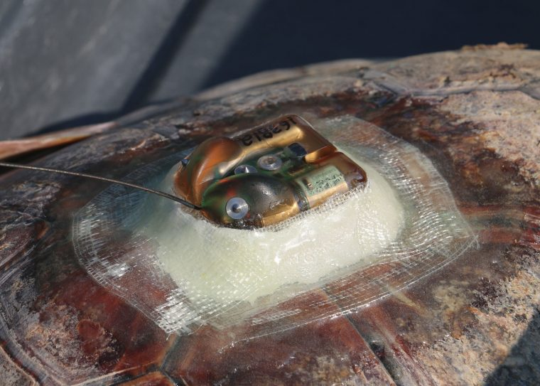 close up of satellite tag on turtle's back