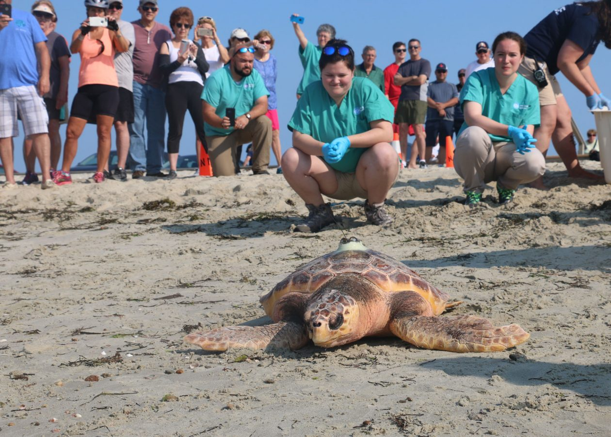 beachgoers and rescuers watch released loggerhead on sand