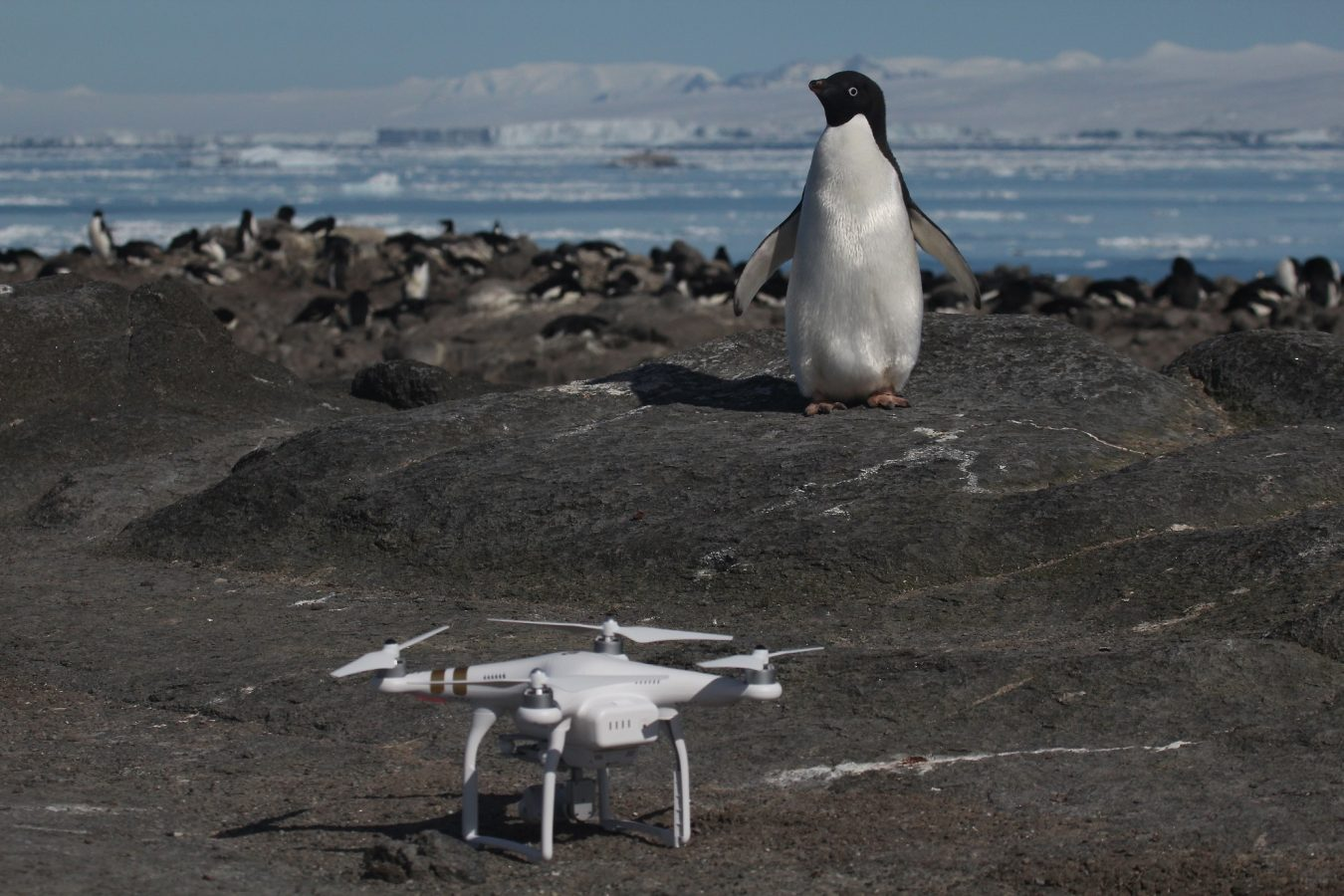 penguin looking at drone