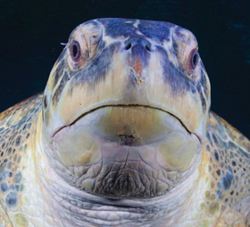 Close up of Myrtle the Green Sea Turtle