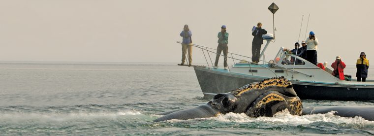 People photograph right whales surfacing on water