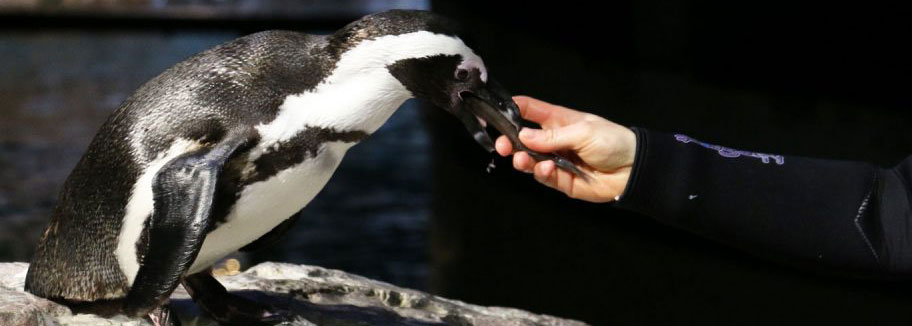 Penguin feeding at New England Aquarium